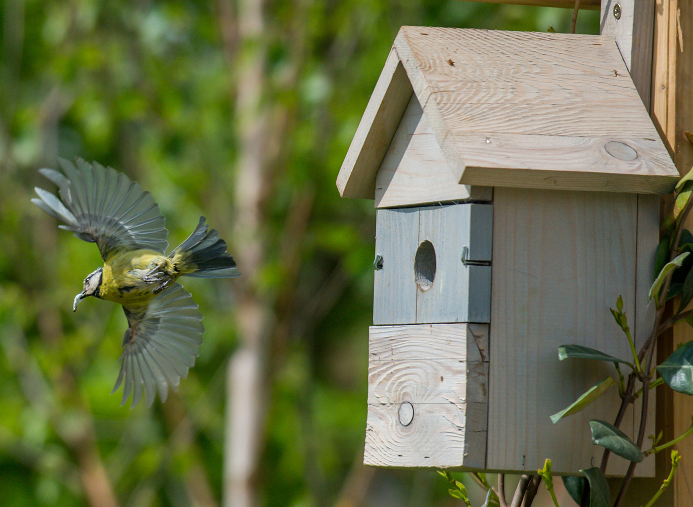 RSPB yellow tit flying