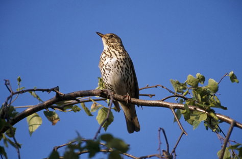 Song thrush perched on a small  leafy branch, sky blue background.